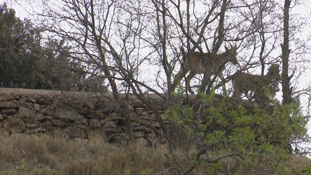 Els caçadors reprenen el control de la cabra hispànica tot i el confinament