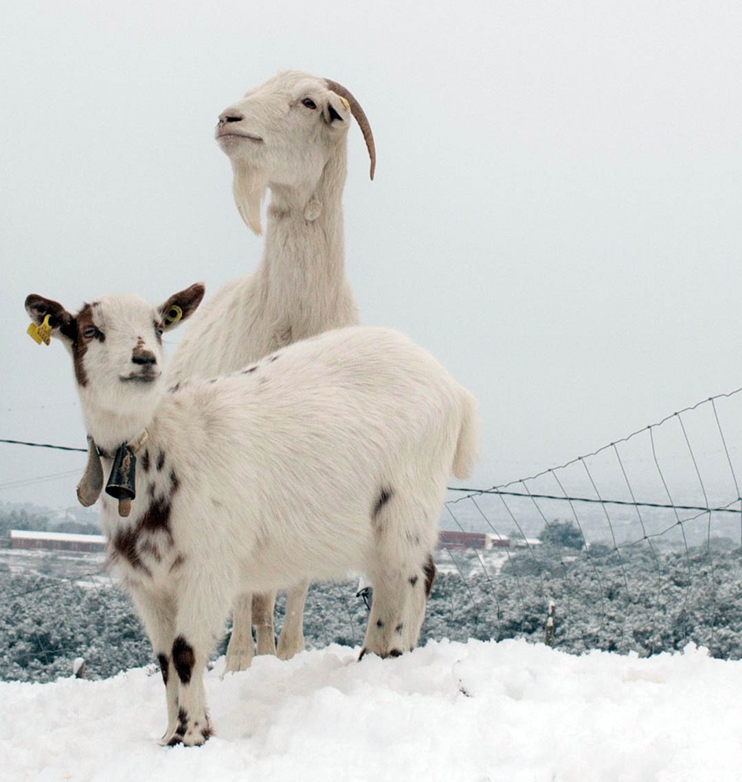 """Al camp """"preocupen molt més les baixes temperatures i les gelades"""""""