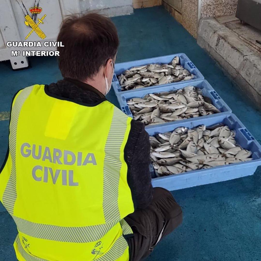 La Guàrdia Civil intercepta 33,5 kg d'orades de talla antireglamentària