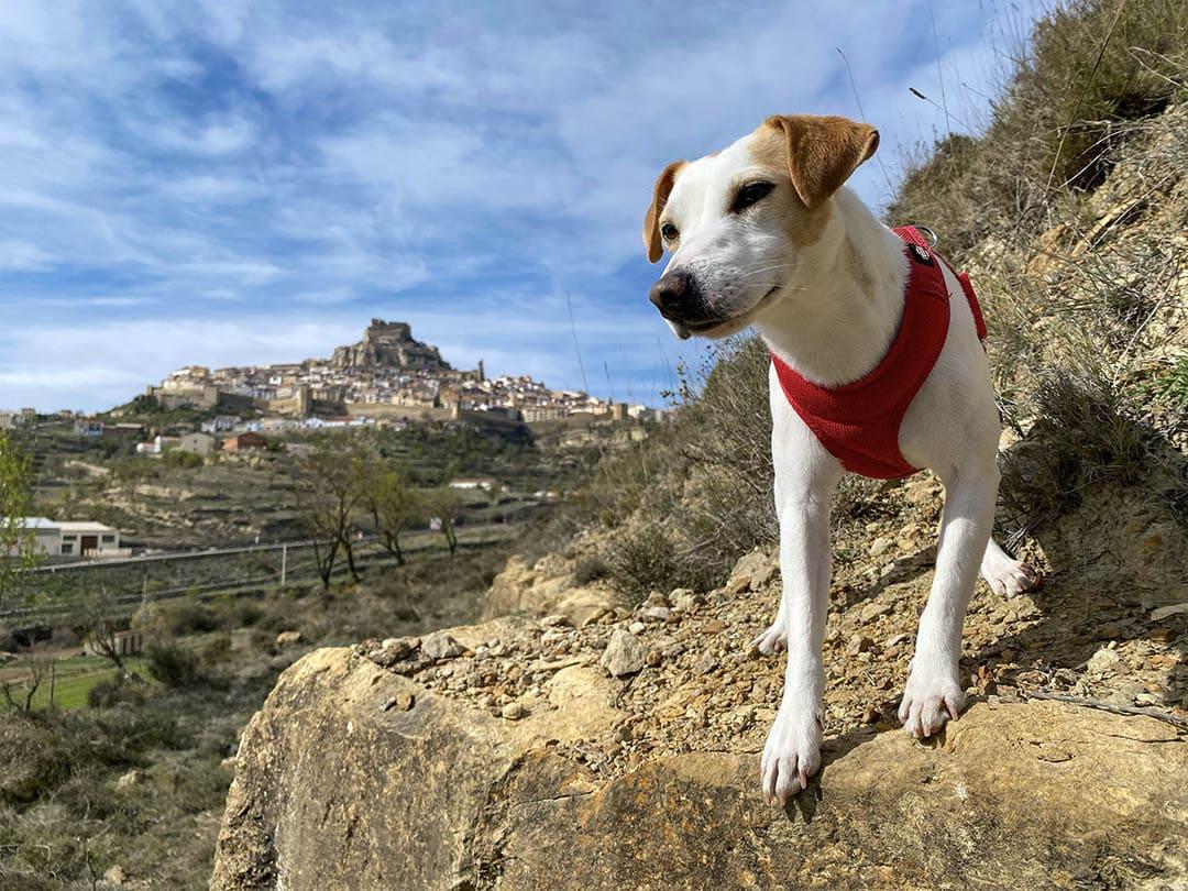 Pipper, el gos 'influencer' que ha donat la volta a Espanya, arriba a Morella